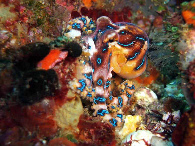 Poisonous blue octopus